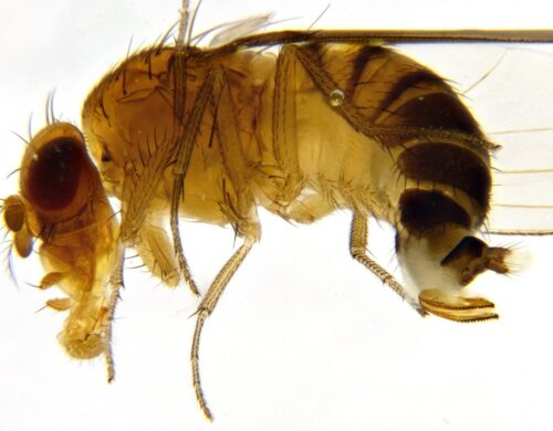 Jeudi science – Drosophiles suzukii, la mouche à abattre ?